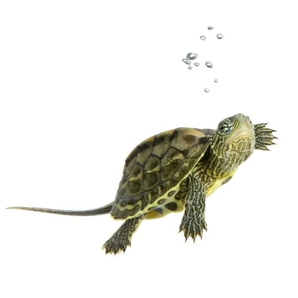 Istnieje co najmniej kilkanaście gatunków żółwi, które legalnie można hodować w warunkach domowych.