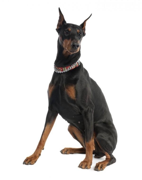 Saneczkowanie psa może być związane ze świądem okolic odbytu, wywołanym czynnikami zakaźnymi bądź niezakaźnymi.