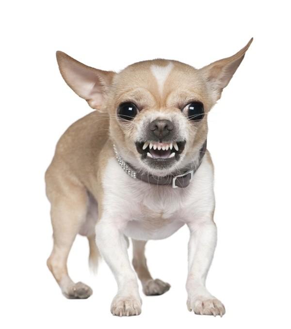Agresja u psów to naturalne zachowanie, które pomaga im przetrwać w naturze, podobnie jak ucieczka. Problemem staje się dopiero wtedy, gdy pies wszystko traktuje jak źródło zagrożenia.