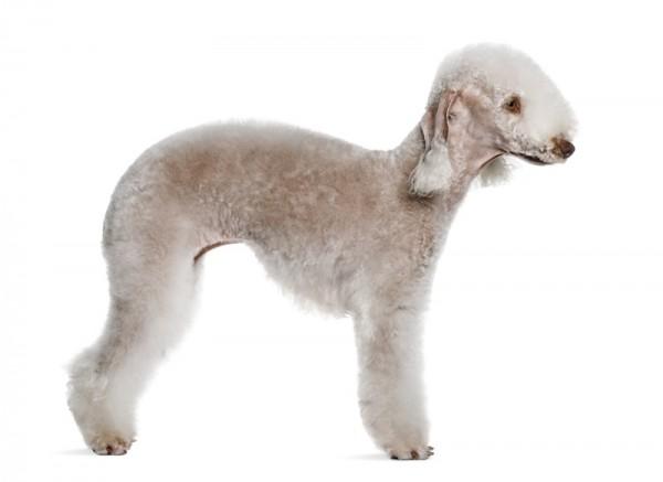 Dog That Looks Like A Small Sheep Dog
