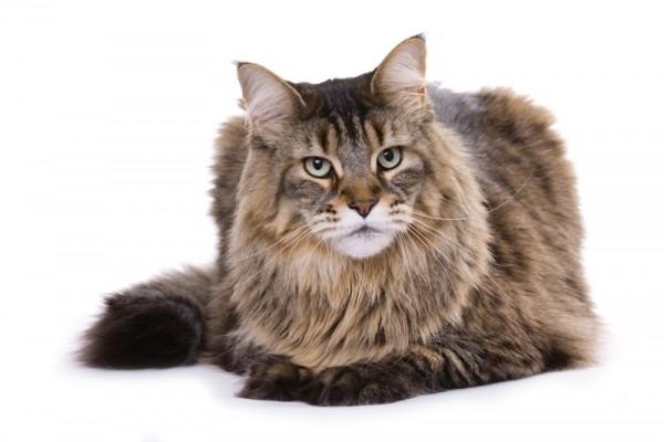 Największy kot domowy - 10 ras