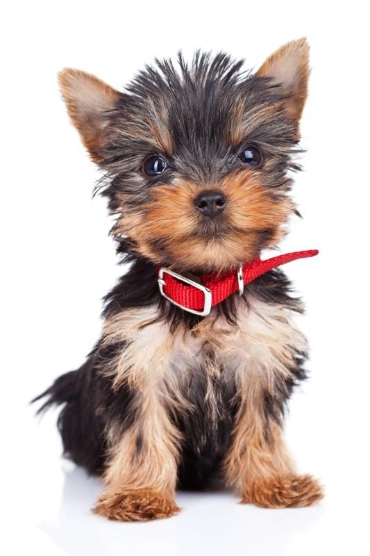 Wieczne szczeniaki - galeria małych psów